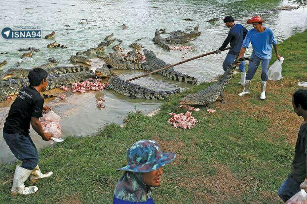 مزرعه پرورش تمساح در تایلند! + عکس