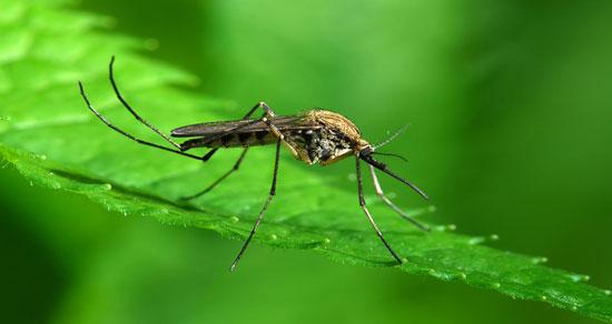 ۷ دلیلی که پشهها در تابستان شما را بیشتر نیش میزنند+اینفوگرافیک