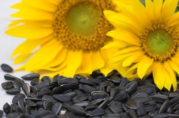 خواص تخمه آفتابگردان برای سلامتی