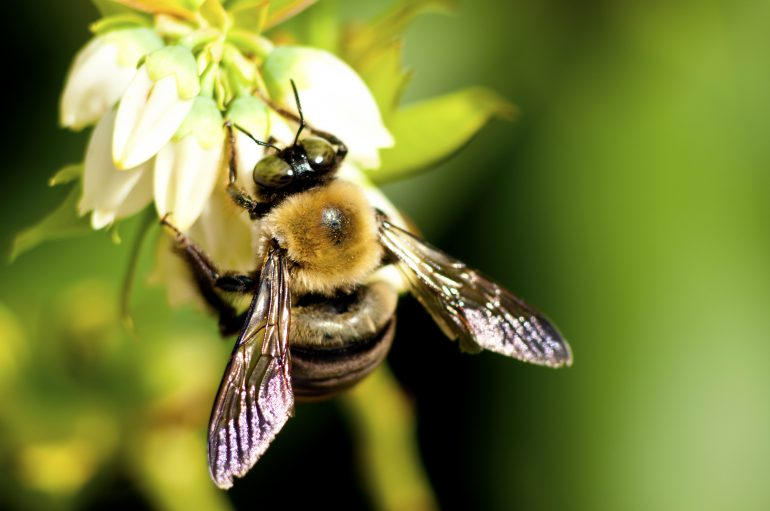 کمک زنبور عسل به ساخت آنتی بیوتیک جدید