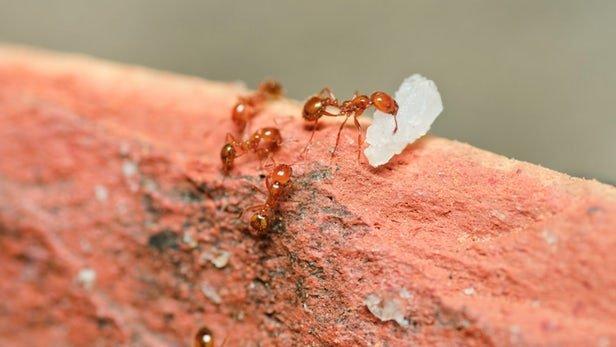 مورچه آتشین، نویدبخش درمان جدید این بیماری