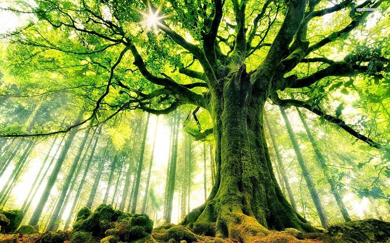 درختی که آرزوها را بر آورده میکند+عکس