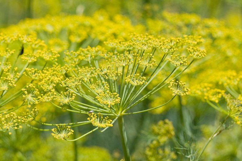 افزایش اثربخشی دارویی عصاره گیاه رازیانه به کمک فناوری نانو