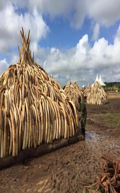 کشف قاچاق  عاج فیل