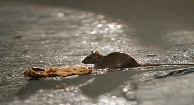 اینفوگرافیک | واقعیتهای عجیب درباره موشهای تهران