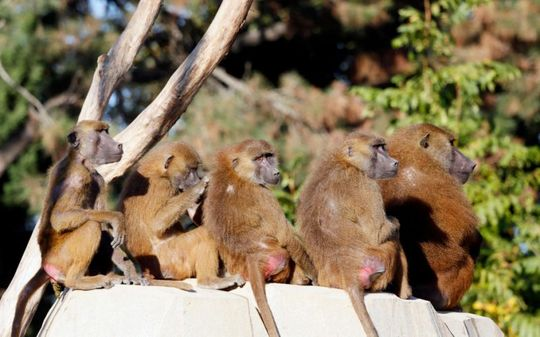 فرار ۵۲ میمون وحشی از باغ وحش پاریس! + تصاویر