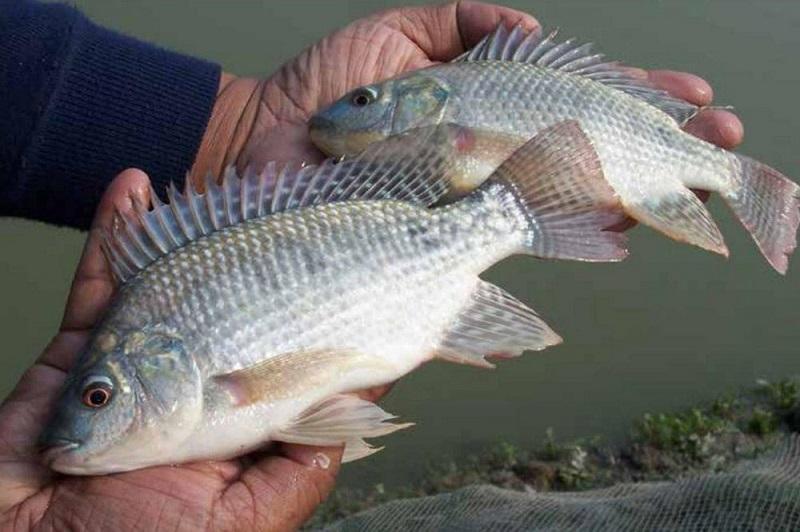 ورود ماهی تیلا پیلا ممنوع