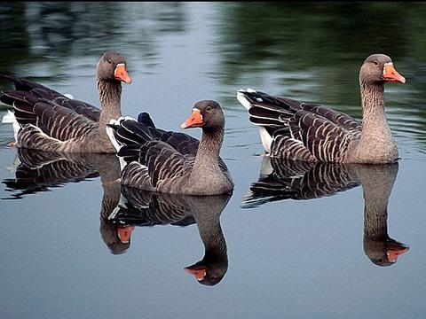کشف 30 اردک و مرغابی دریایی درغرب گلستان