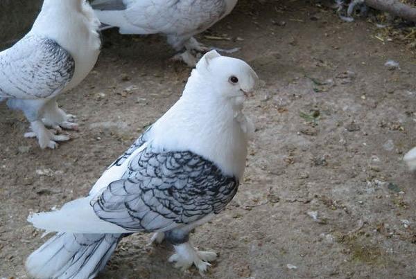 جلوگیری از بیماری انسان با استفاده از کبوتر