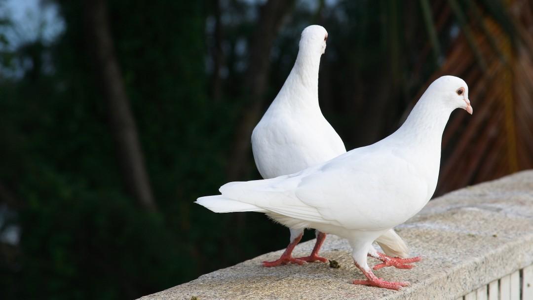 چطور کبوترها می توانند از ما در برابر بیماری ها محافظت کنند؟