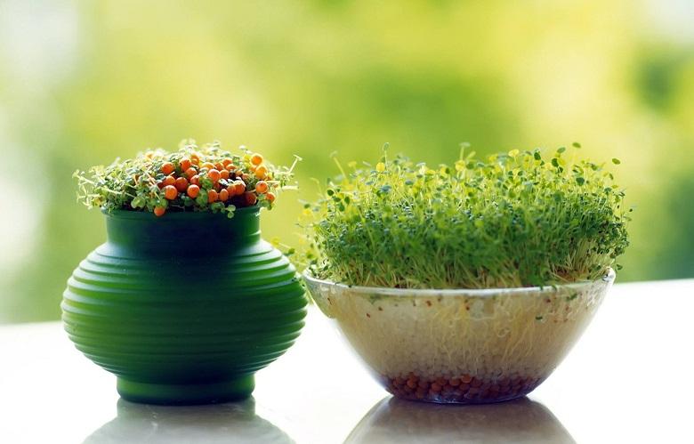 گندم سبز کنیم یا هسته پرتقال؟