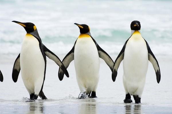 پنگوئنها در دوراهی مرگ یا مهاجرت