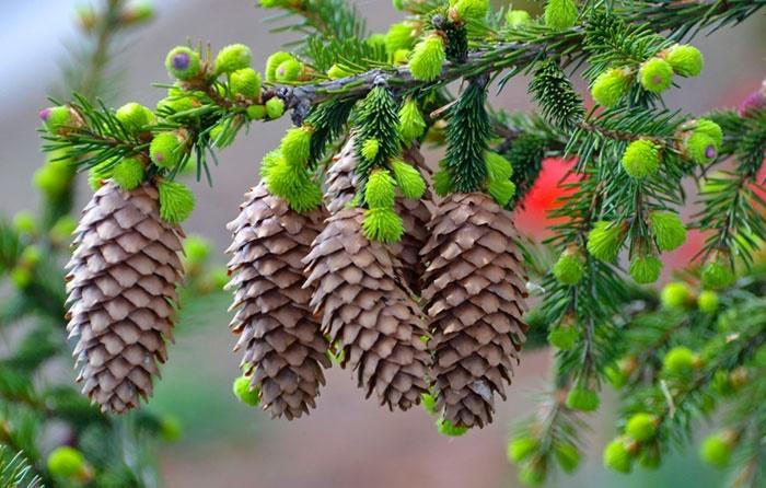 کاشت درخت کاج به بهانه روز درختکاری برای سلامتی خطرناک است
