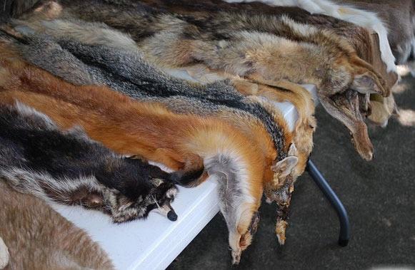 فروش پوست گربه در تهران تایید شد