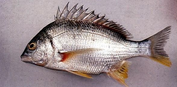 فواید اعجاب انگیز پولک ماهی