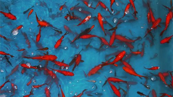 از رها کردن ماهی قرمز در رودخانه ها بپرهیزید