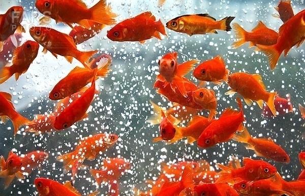ماهیهای عید را در رودخانهها رها نکنید
