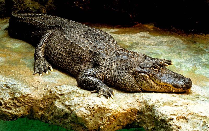 ورود سرزده تمساح ۳ متری به استخر یک مجتمع مسکونی