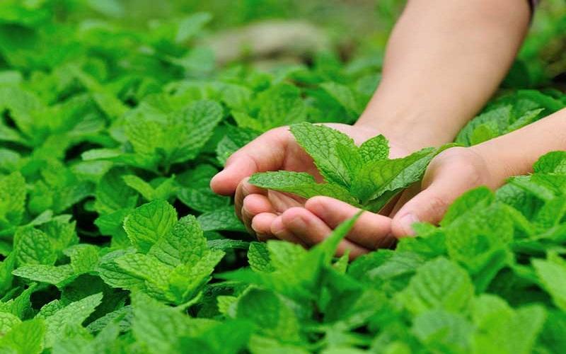 سبزی شگفت انگیزی با هزار و یک خاصیت