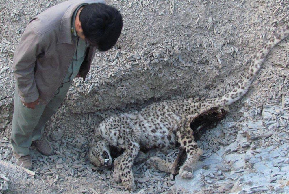 پیدا شدن لاشه یک قلاده پلنگ در روستای زو شیروان  + عکس