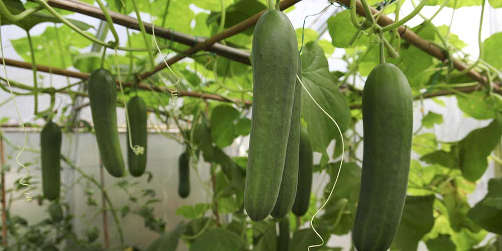 چرا نباید خیار گلخانهای بخوریم؟