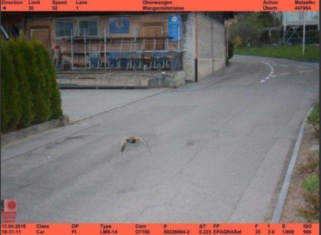 اخطار پلیس نامحسوس برای اردک متخلف! + عکس