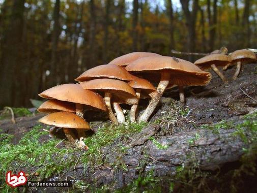 قارچهای سمی کشنده چه شکلی هستند؟ + عکس