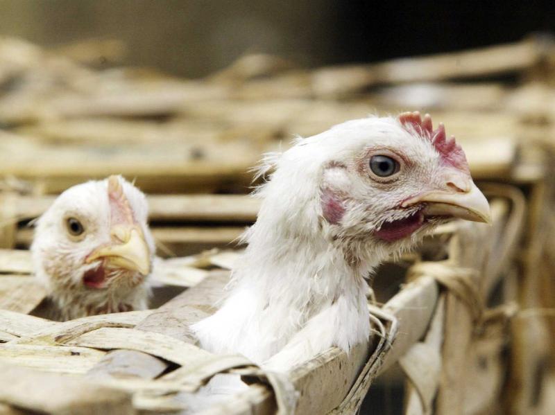 نفلوآنزای پرندگان مختص فصل سرد نیست