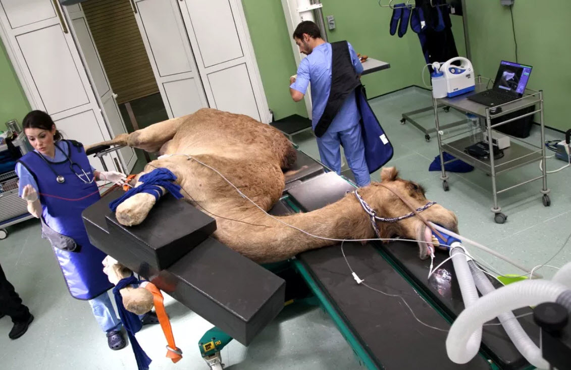 عمل جراحی شتر در یکی از بیمارستانهای دبی+عکس