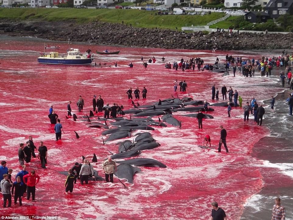 کشتار وَحشتناک ۱۸۰ نهنگ با حضور کودکان ۵ ساله + عکس