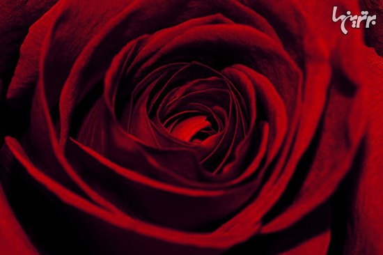 معنای واقعی هر رنگ گل رز چیست؟ + عکس