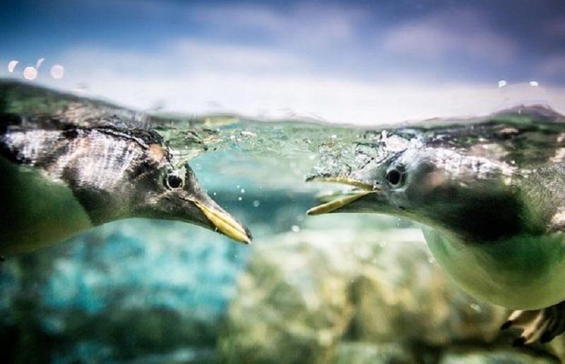 شنای پنگوئنها در عکس روز نشنال جئوگرافیک