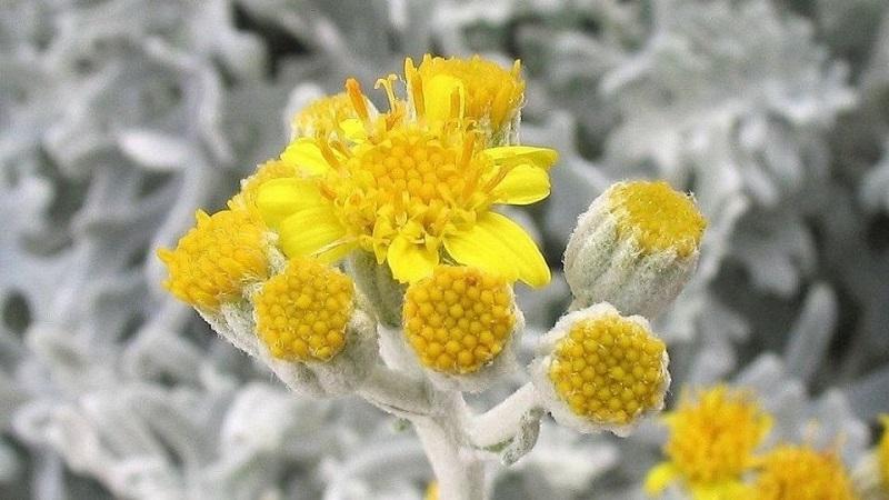 گیاهی که در کمترین زمان سلول های سرطانی را می کشد