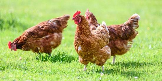 از آلرژی مرغ چه میدانید؟