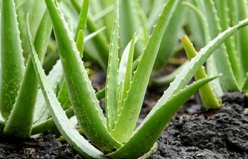 گیاهی که میگرن را در نطفه خفه میکند
