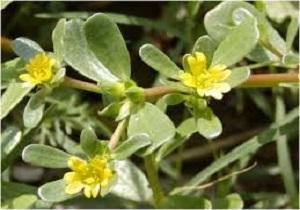 قدرتمند ترین گیاه دارویی روی زمین را بشناسید