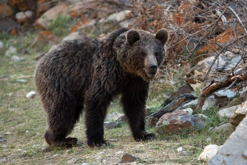 یک قلاده خرس قهوه ای در فیروزکوه مشاهده شد