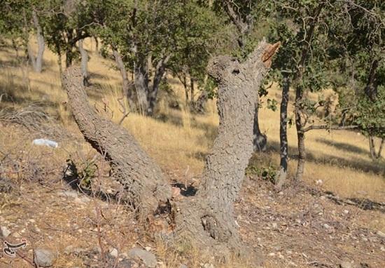 سودجویان شبانه درختان بلوط دنا را قطع میکنند + عکس