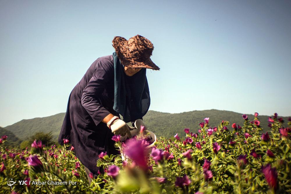 برداشت گل گاوزبان در مازندران + عکس