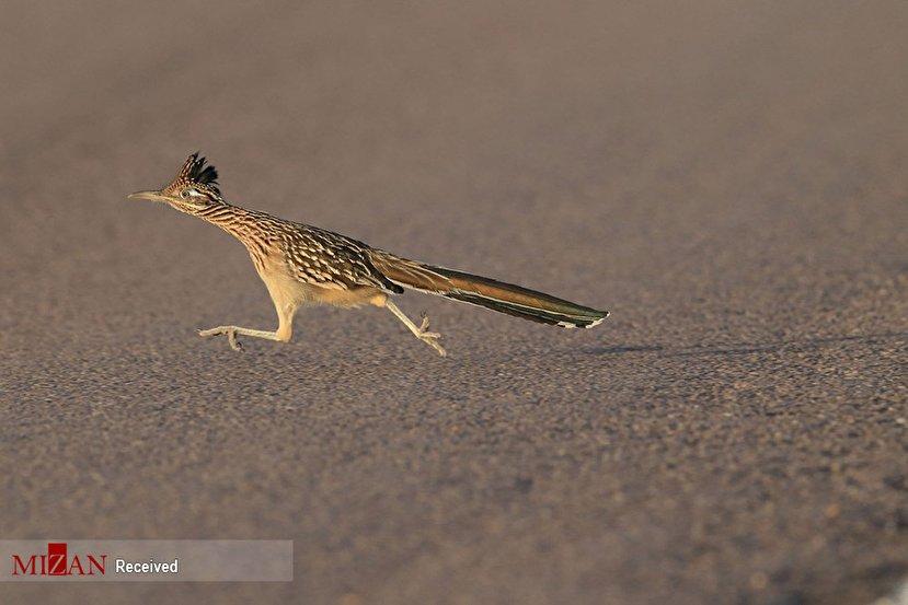 1393606 461 - پرنده معروف کارتون میگ میگ در نیو مکزیکو + عکس