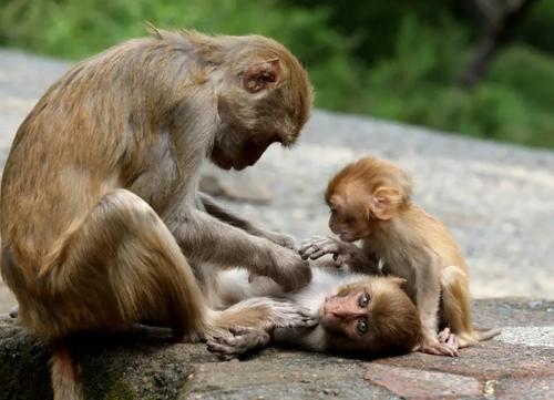 2674983285 - اقدام تعجب آور و جالب میمون مادر روی پوست فرزندش! + عکس