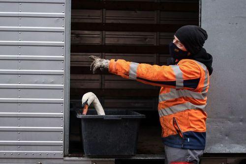 48732885 - جداسازی قوها در برابر شیوع ویروس آنفلوآنزای پرندگان! + عکس