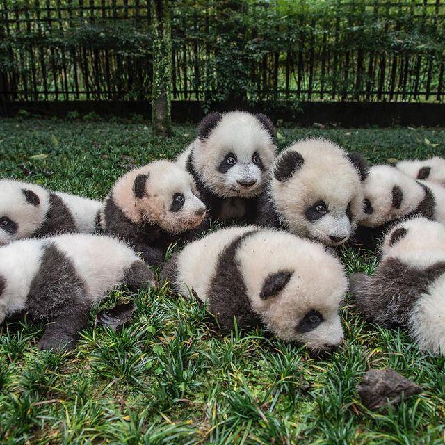 بچه پانداها در باغ وحش سیچوان چین + عکس