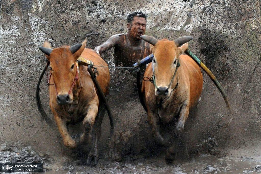 تمرینات پیش از مسابقه سنتی گاوها در اندونزی + عکس