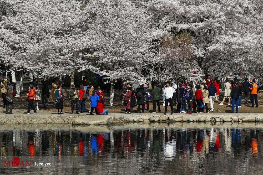 فستیوال جذاب بهاری در چین + عکس